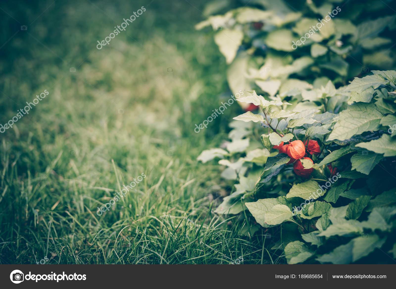 Lanterne Chinoise Physalis De Fleur Dans Le Jardin Photographie