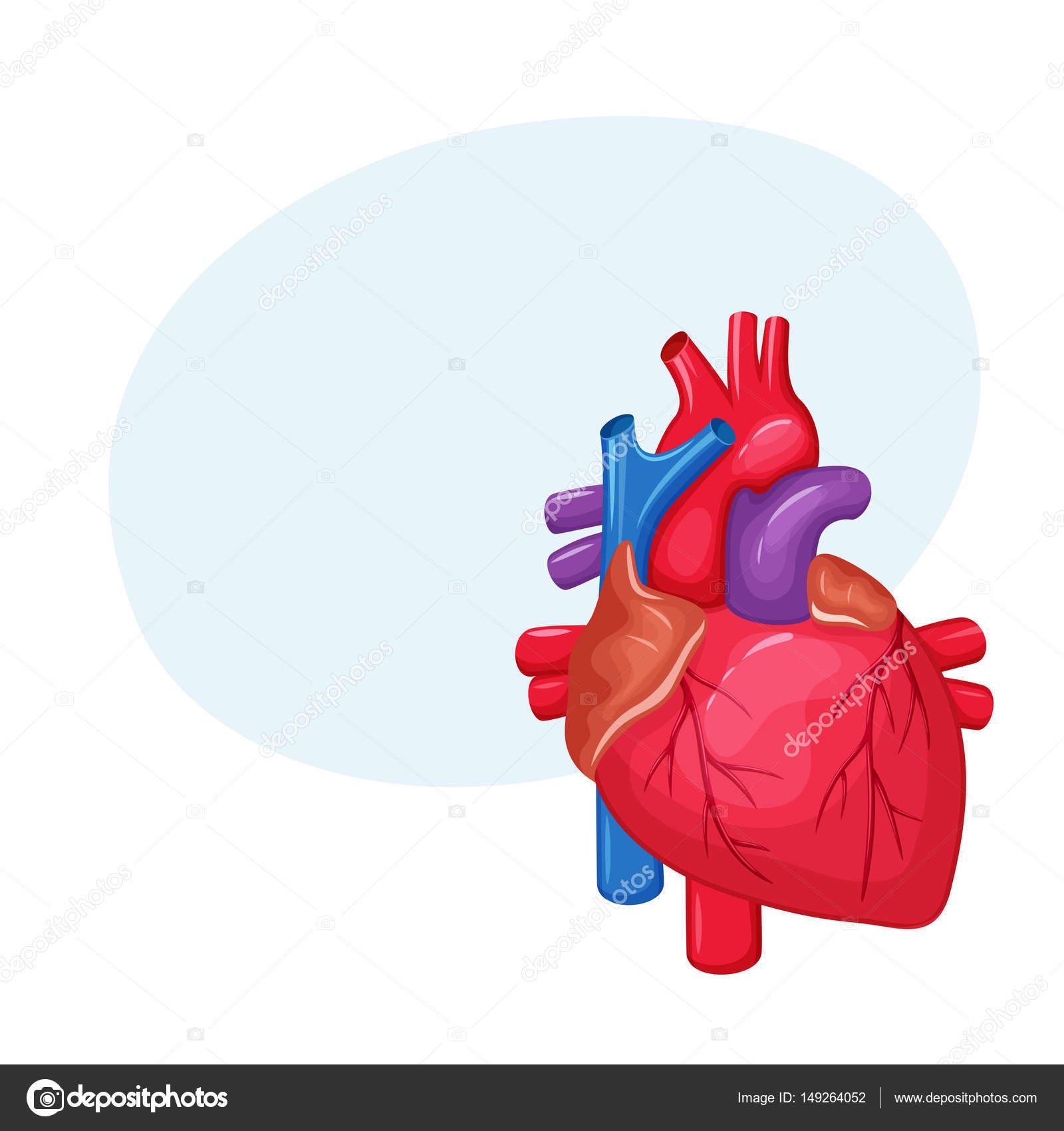 Anatomía del corazón humano — Vector de stock © nordfox #149264052