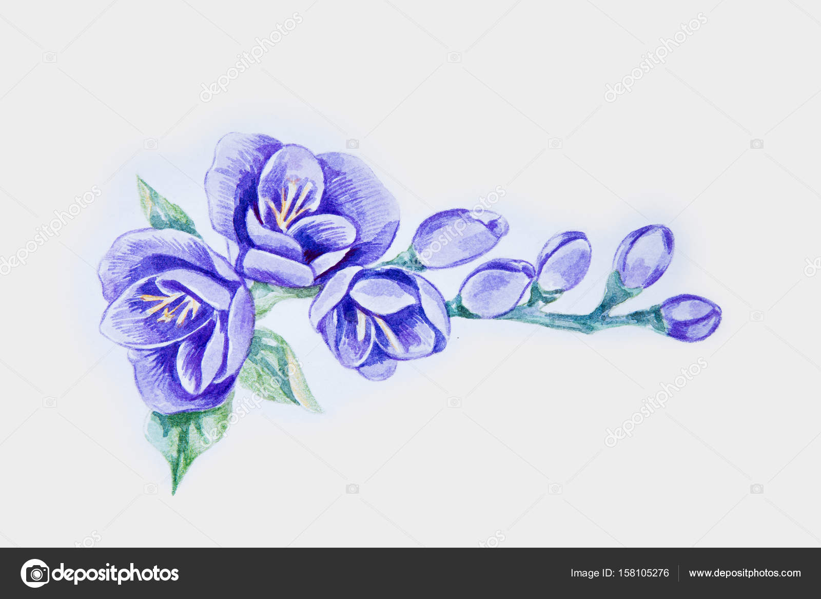 5e91a3339 A sketch of a beautiful violet freesia on a white background ...