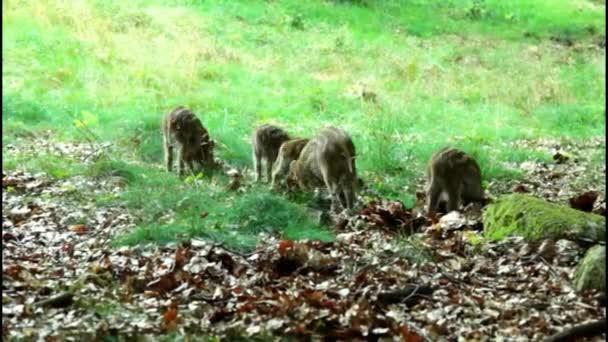 vaddisznó malacok