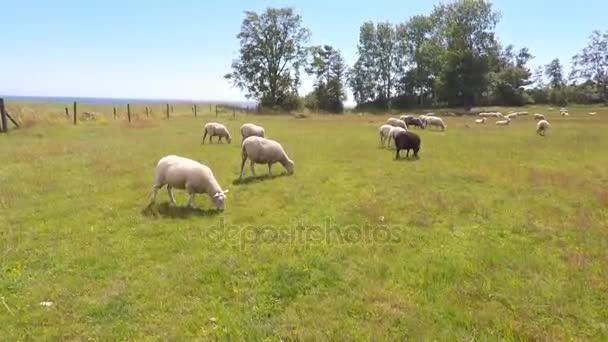 ovce na hřišti