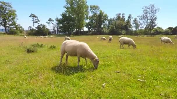 pole s ovcemi