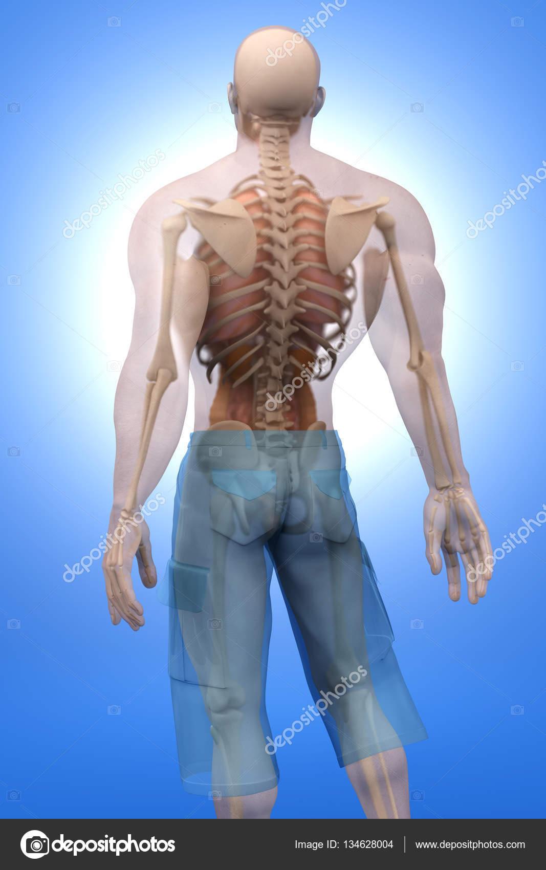 Visualización de anatomía humana - órganos internos — Foto de stock ...