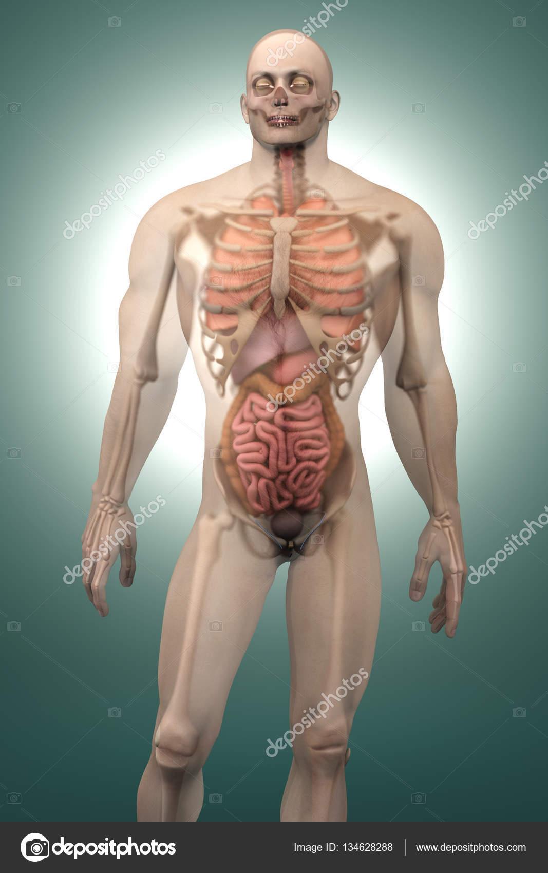 Menschliche Anatomie Visualisierung - Innenorgane — Stockfoto ...