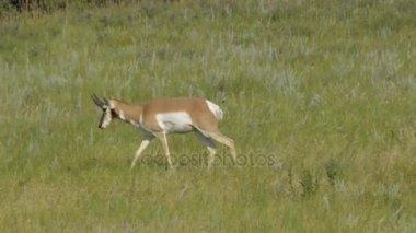 Pronghorn walking in a field
