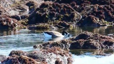 canada goose CHATEAU niskie