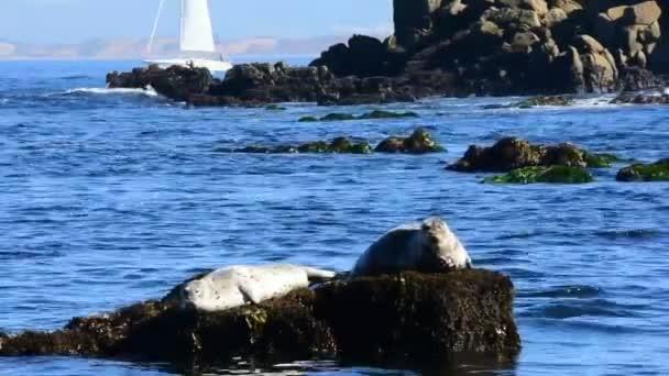 Tuleně odpočívající na kameni v Monterey Bay. Plachetnice na pozadí. Fotoaparát uzamčen