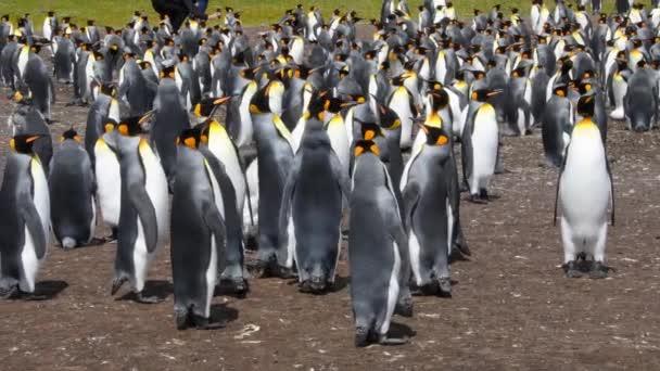 Tučňáci královští v kolonii, Dobrovolný bod, Falklandské ostrovy. Se zvukem. Ruční ovládání fotoaparátu.