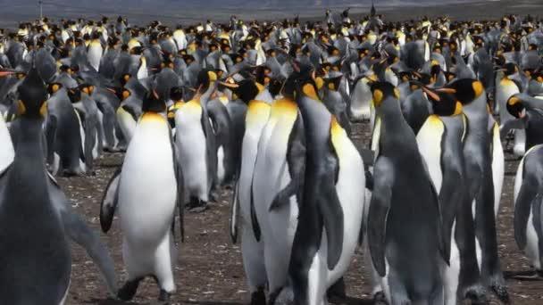 Velká kolonie tučňáků královských na Dobrovolnickém místě na Falklandských ostrovech. Tento klip demonstruje trochu tučňáka boje, jak se zdá, že několik ptáků nesouhlasí. Ruční ovládání fotoaparátu.