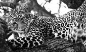 Leopard im Masai-Mara-Nationalpark, Kenia