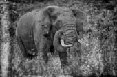 Obrovský africký slon v národním parku Serengeti, Tanzanie