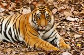 Nagy hím bengáli tigris a Bandhavgarh Nemzeti Parkban, India