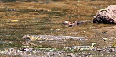 Monitor lizard on Ngamba Island, Lake Victoria, Uganda