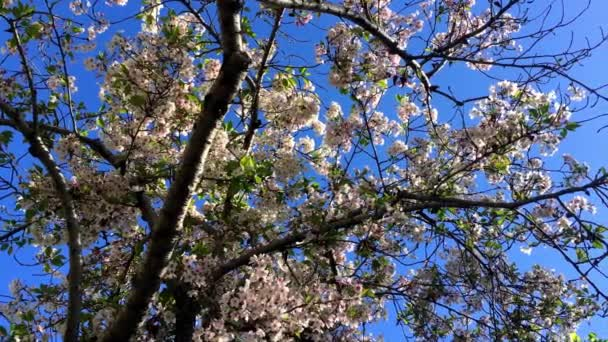Cherry blossom on a sunny day in Santa Cruz, California, USA