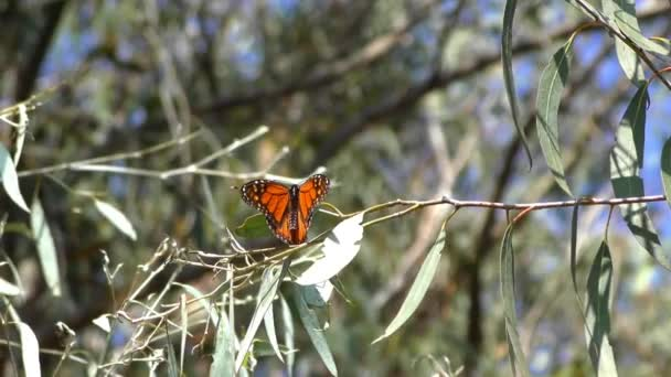 Monarch butterflies as seen from the monarch butterfly trail in the Natural Bridges State Beach Sanctuary in Santa Cruz, California, USA