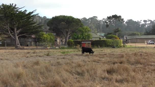 bull grazing in the field