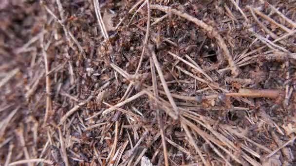 Mravenci v Mravenčí kopec. Closeup