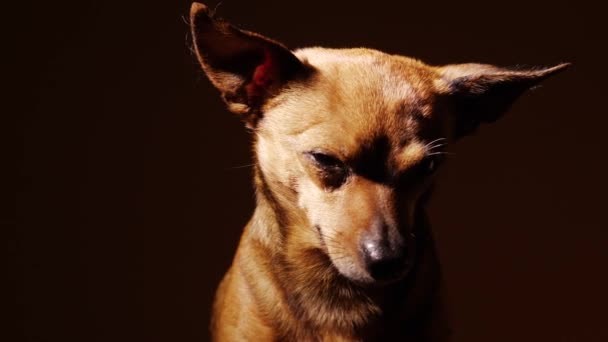 Portrait of a little terrier.