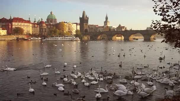 Labutě hrající si na řece, se zázemím panorama Prahy, Vltavy a Karlova mostu, Česká republika.