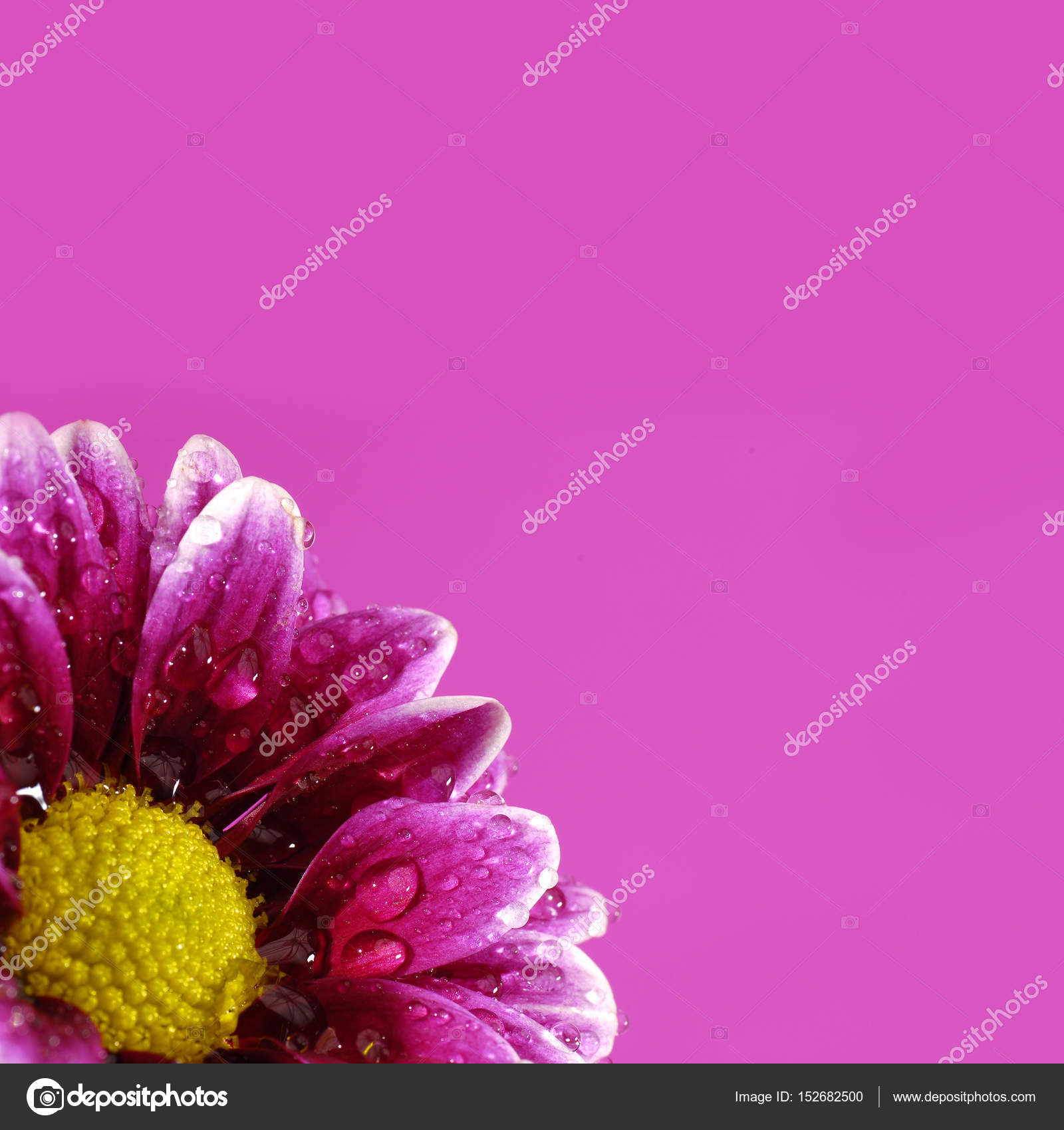 Pink Flower With Colored Background Yellow Center Stock Photo
