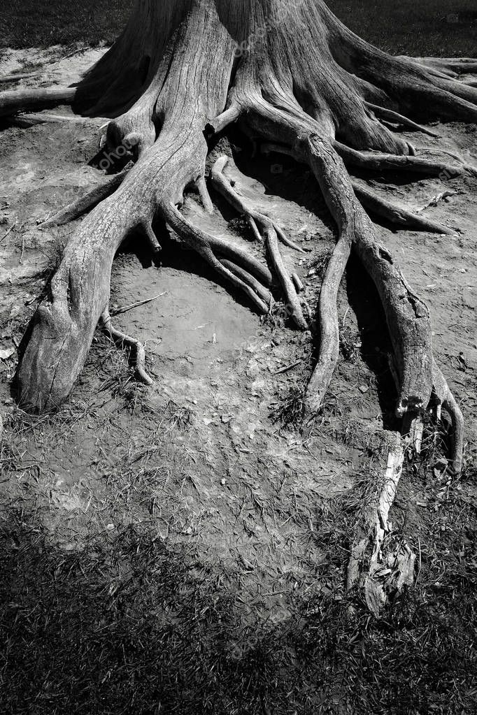 Roots from Ancient Old Tree Exposed to Open Air