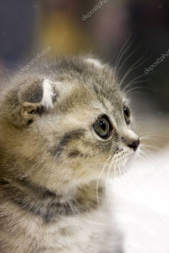 Adorable Furry Kitten with Stripes and Dark Eyes