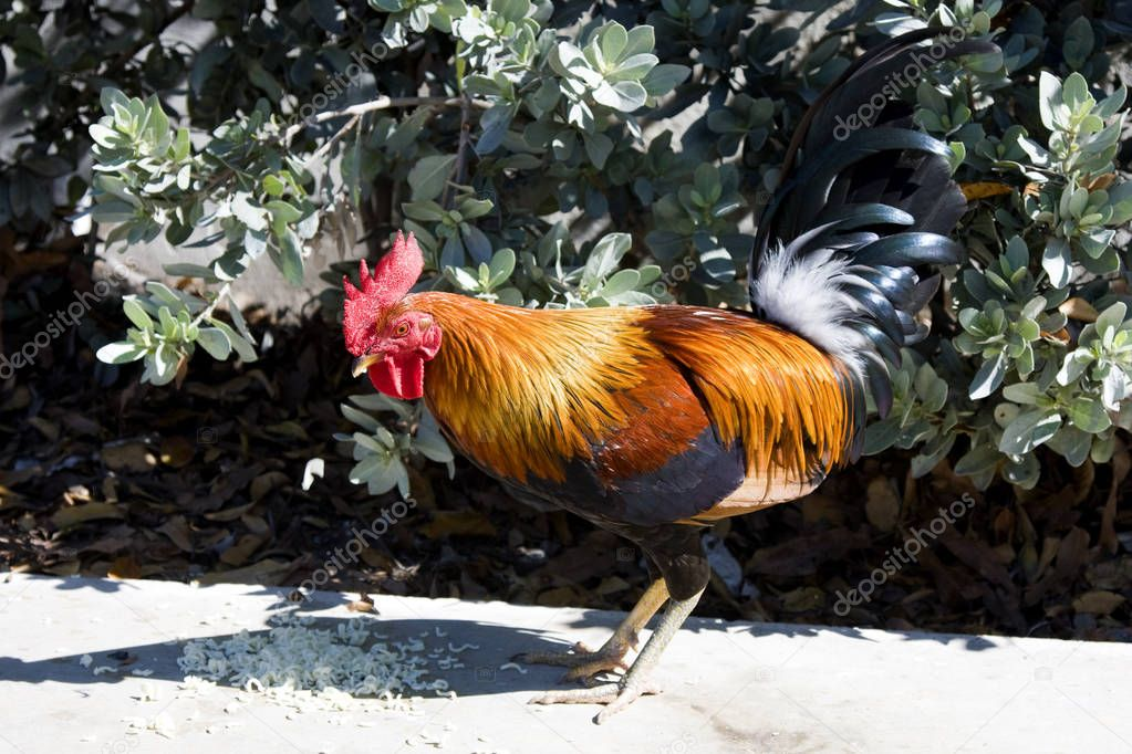 Wild Rooster Eating Food with Orange Feathers
