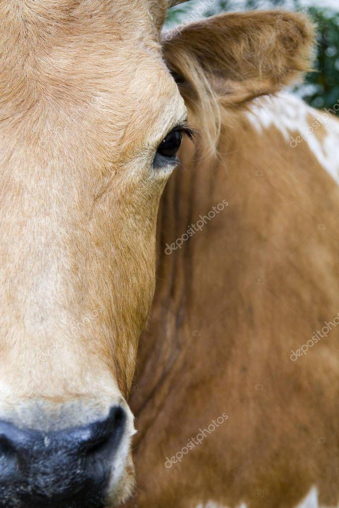 Bull's Eye - Texas Longhorn Cattle