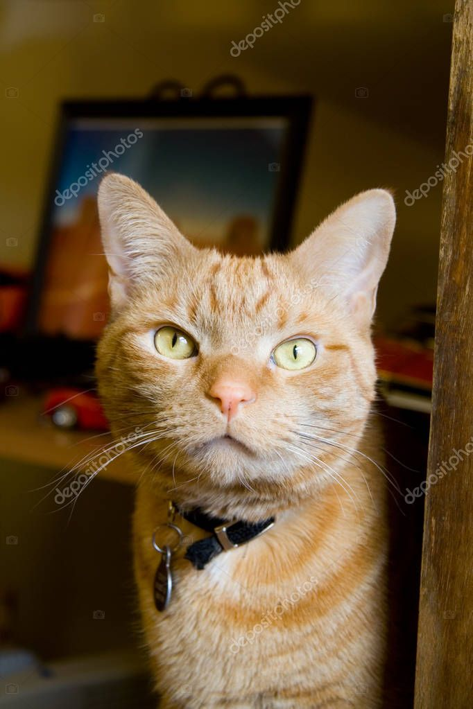 Orange Tabby Cat Stare While Sitting Up