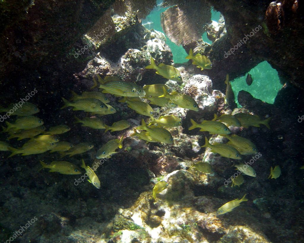 Yellow Fish in Coral Reef Hiding Out