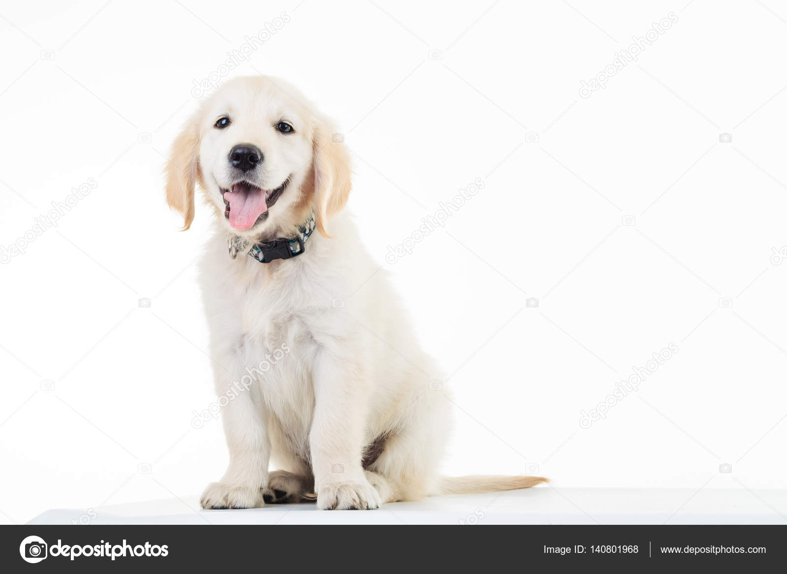 Happy Panting Golden Labrador Retriever Puppy Dog Sitting Stock