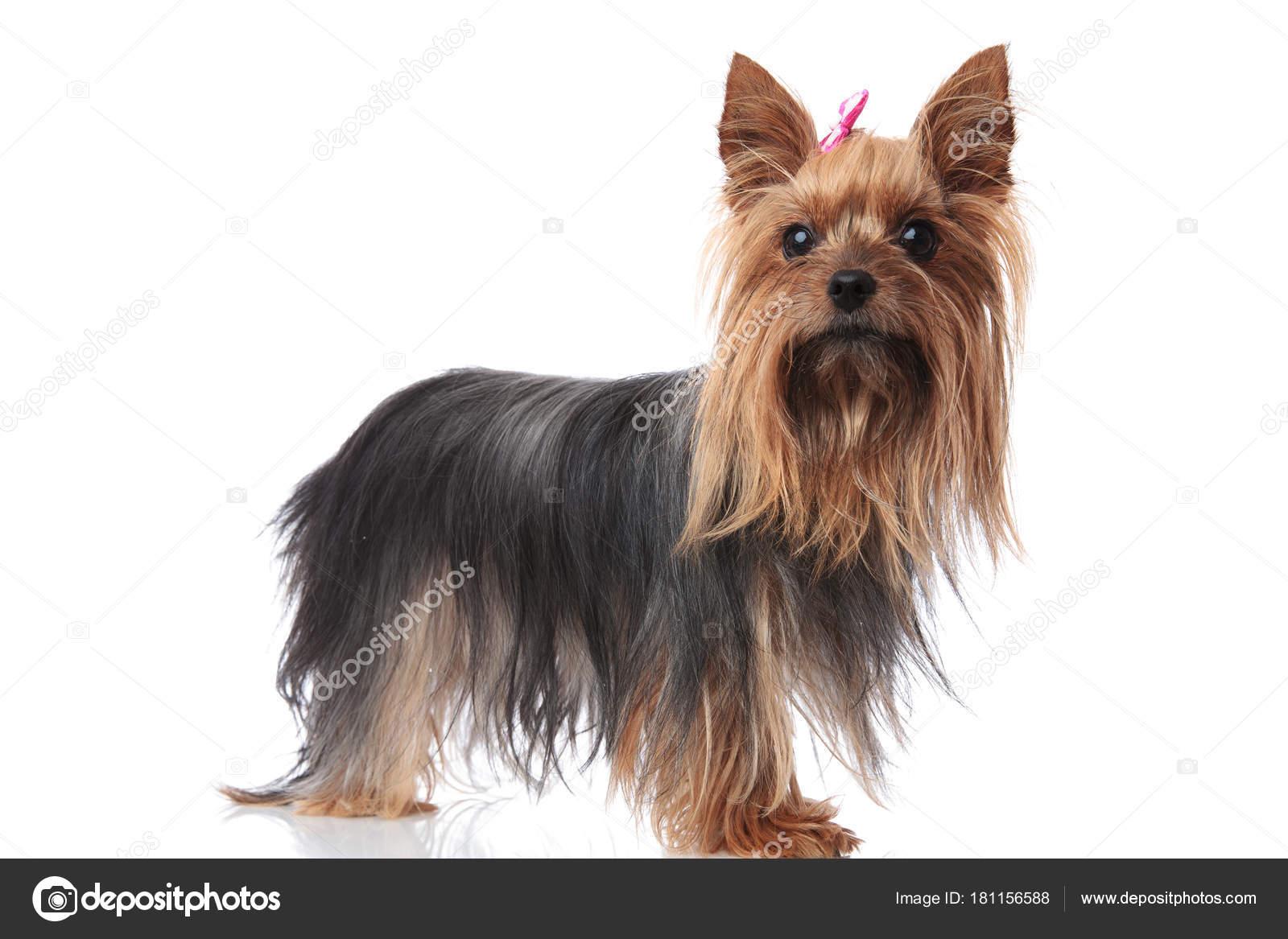 Teljes Test Kepe Egy Aranyos Yorkshire Terrier Kolyok Kutya Stock