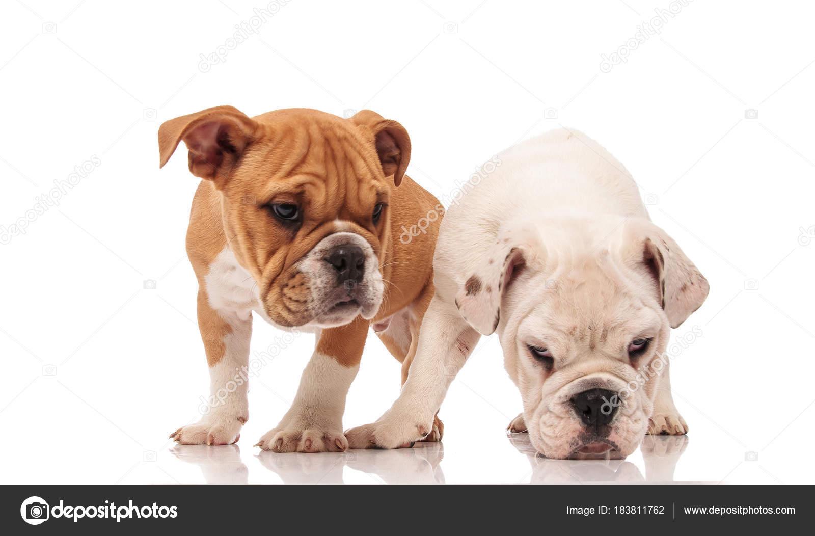 White English Bulldog Puppy Picks Up A Scent Stock Photo