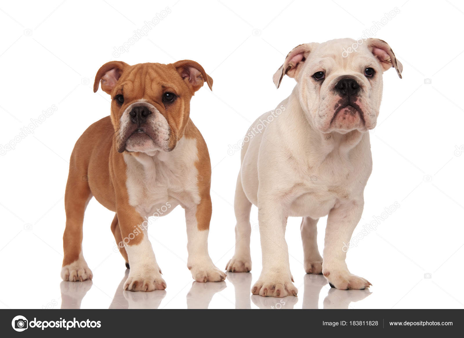 Pics: brown bulldog | Brown and white english bulldog