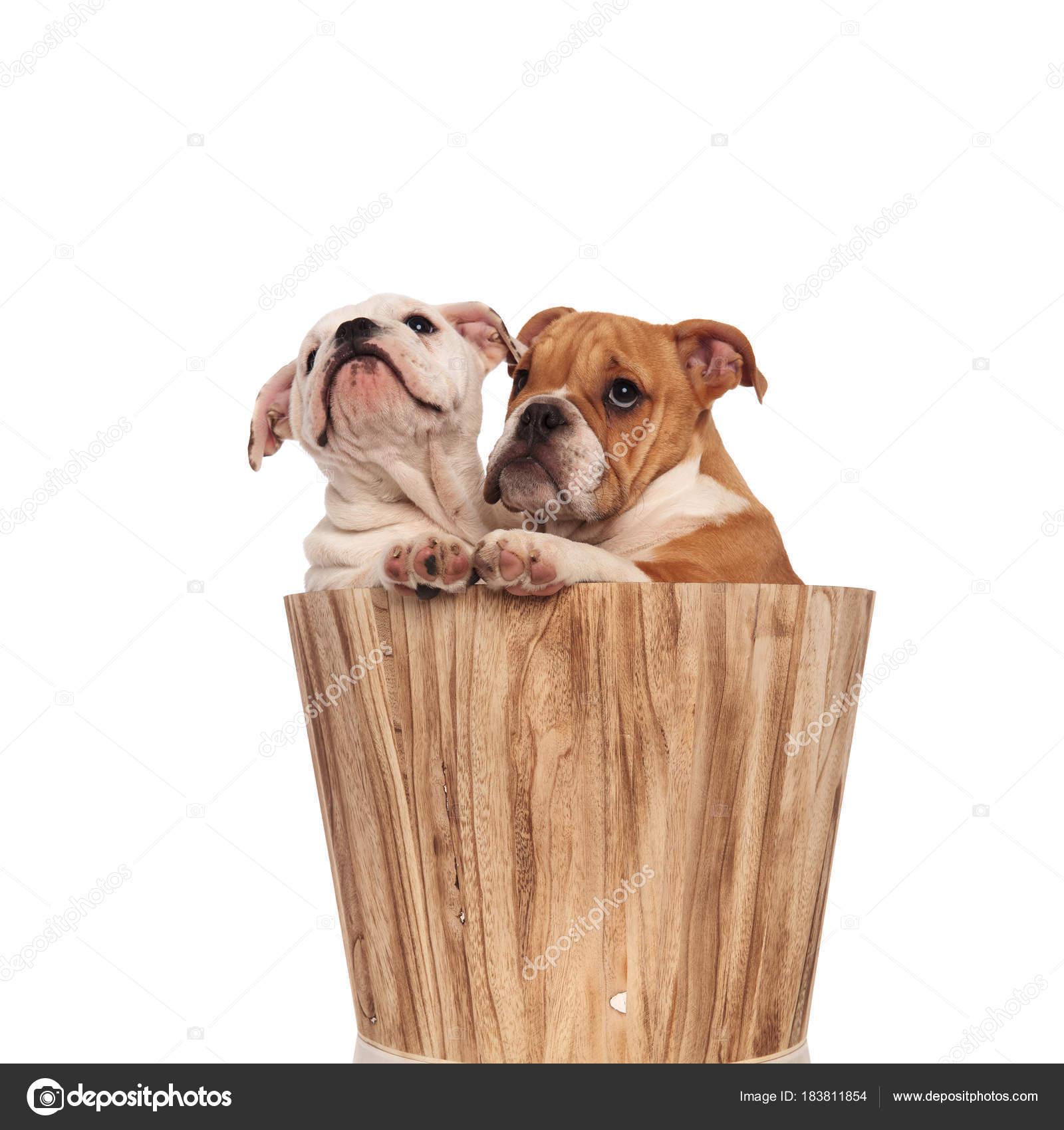 Cercare Due Bulldog Inglese Cuccioli In Un Secchio Foto Stock