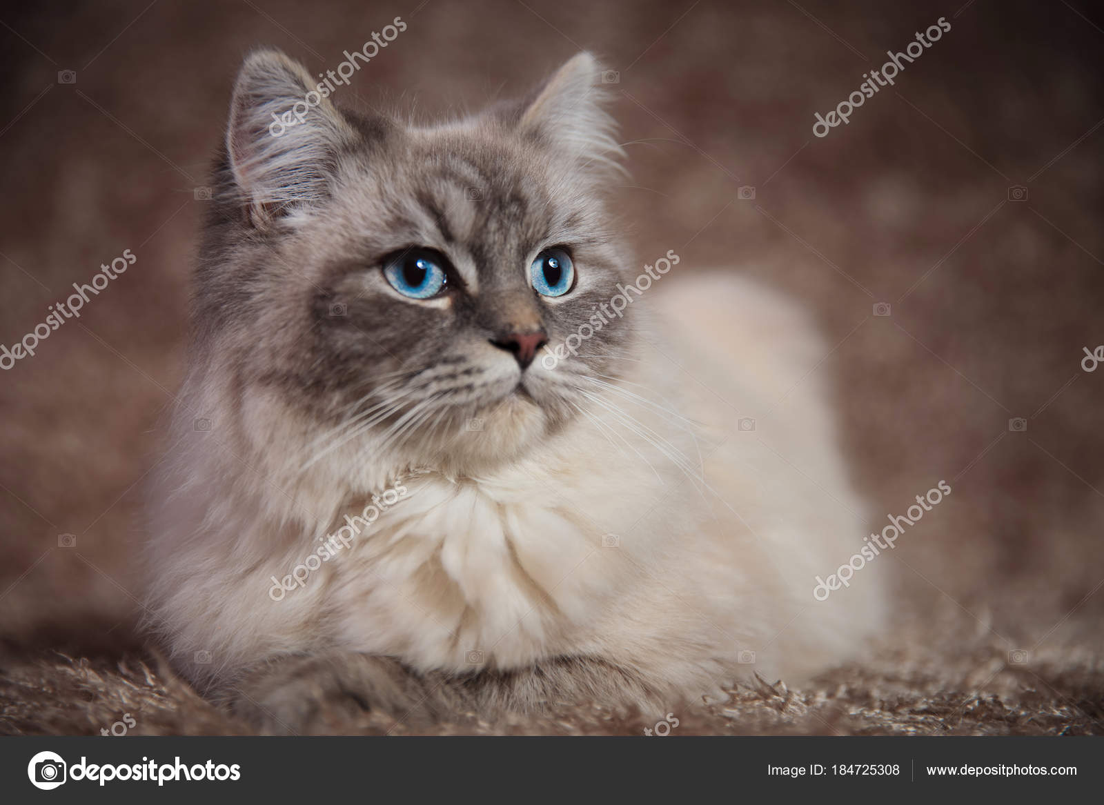 mladá hnědá kočička