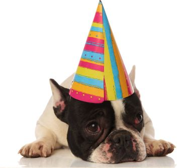 french bulldog lying down is not happy about his birthday