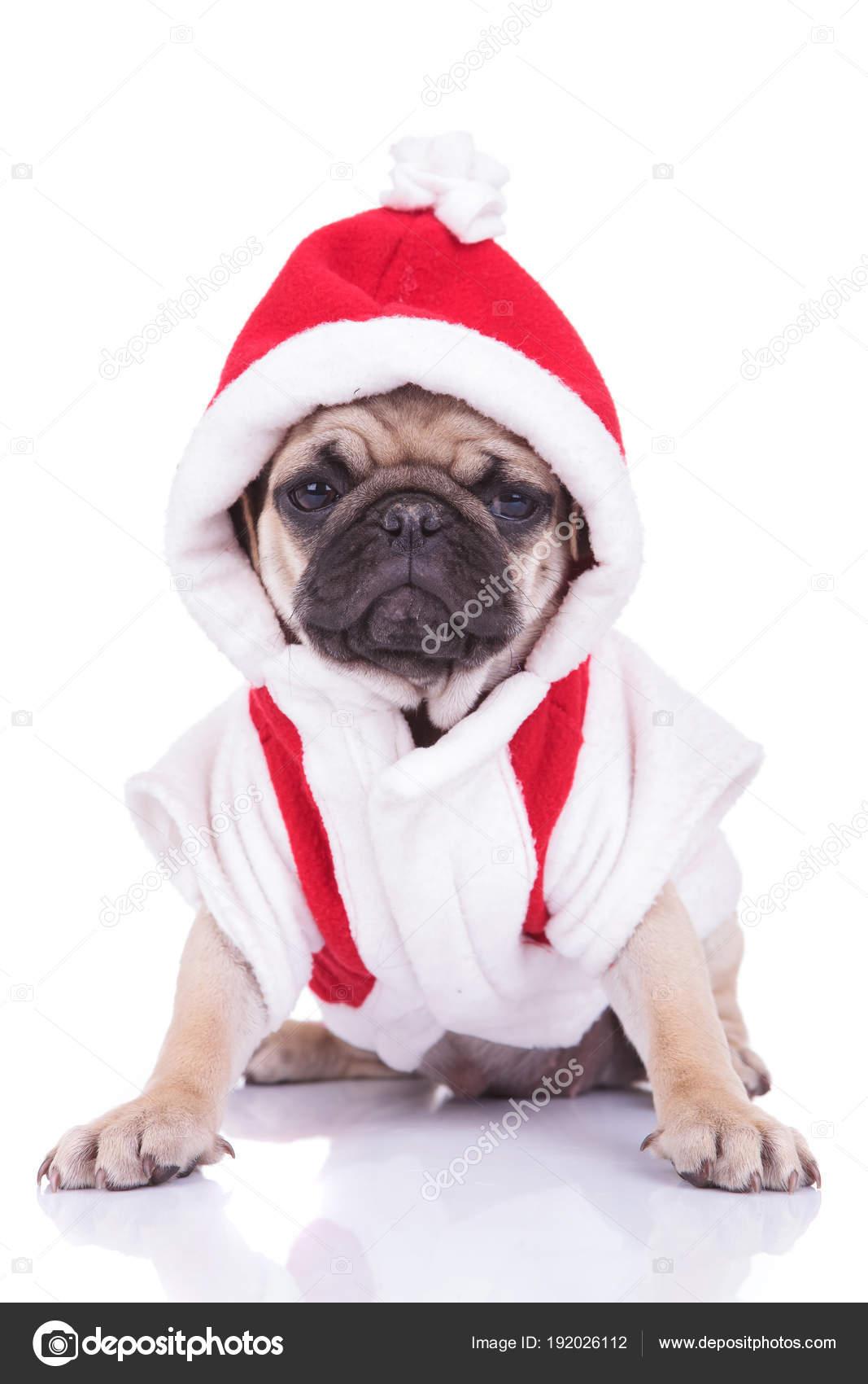 Mops Bilder Weihnachten.Entzückende Santa Mops Welpen Ist Bereit Für Weihnachten Stockfoto