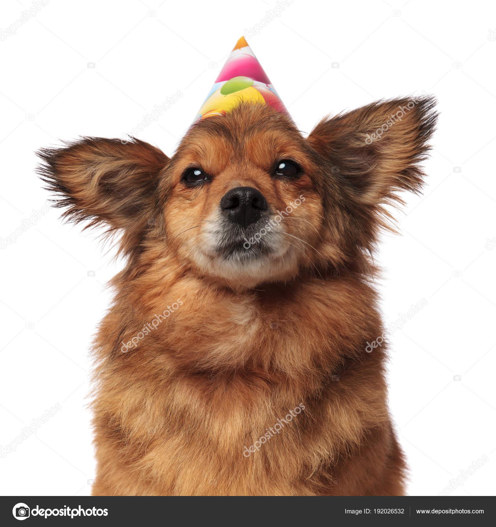 Close Up Van Bruin Harige Hond Met Verjaardag Hoed Stockfoto