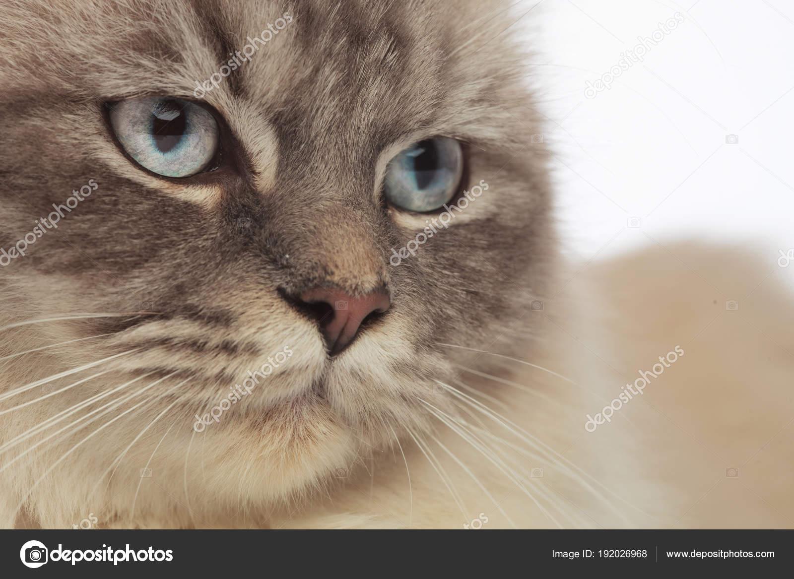Szary Kot Sierściowej Głowy Z Niebieskimi Oczami Wygląda Na Stronie