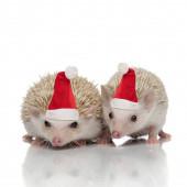pár dvou afrických ježků stojící bok po boku na sobě sa