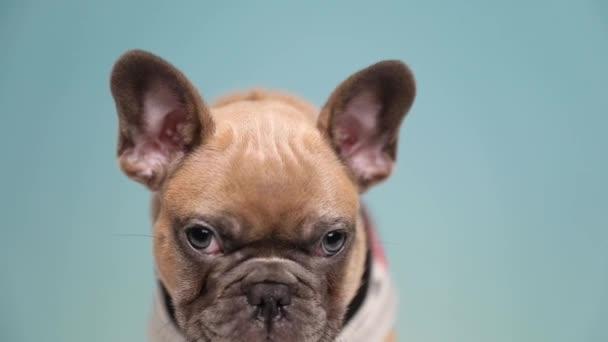 közelről egy imádnivaló francia Bulldog visel ruhát álló és remegő szomorú kék stúdió háttér