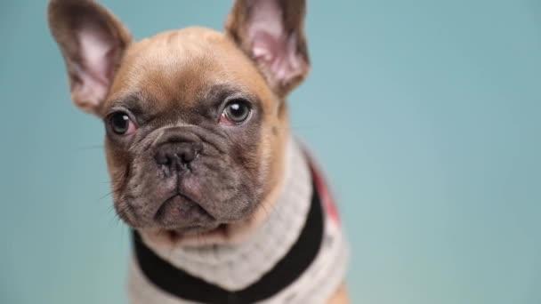 közelről egy aranyos francia Bulldog kutya visel ruhát álló és remegő, miközben nézelődött félek a kék stúdió háttér