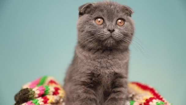adorable curious Scottish Fold cat with blue fur is sitting on a blanket and looking ahead in the studio