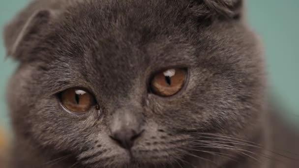 Nahaufnahme einer niedlichen Scottish Fold Katze mit blauem Fell, die sich im Atelier umsieht