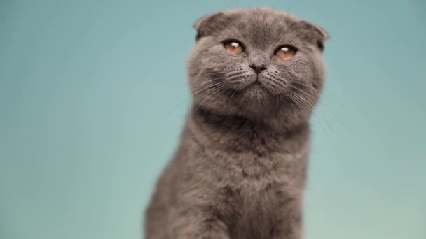 malá roztržitá skotská kočka s modrou kožešinou sedí a ohlíží se přes rameno do studia