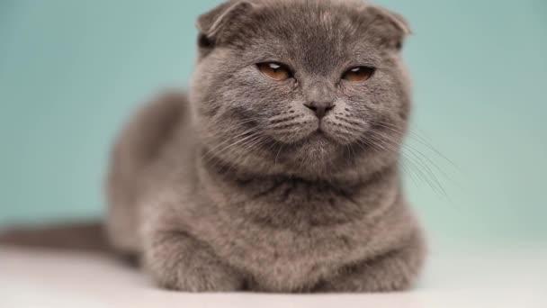 kis álmos skót Fold macska kék szőrme fekszik le, és próbálja tartani a szemét nyitva a stúdióban