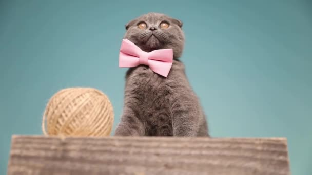 adorable Scottish Fold cat is wearing a pink bow tie and sitting on a wooden board next to a ball of thread in the studio