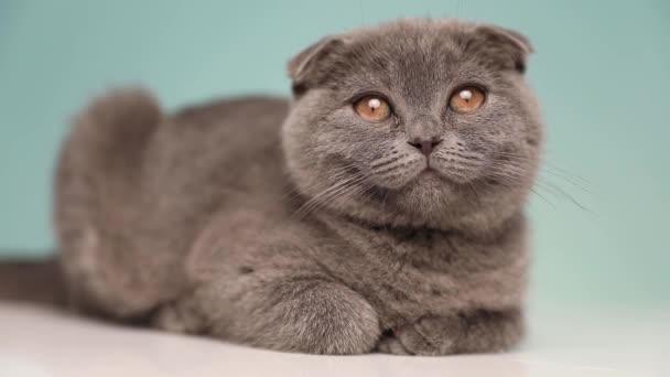 Seitenansicht einer niedlichen Scottish Fold Katze mit blauem Fell, die sich hinlegt und im Atelier umsieht