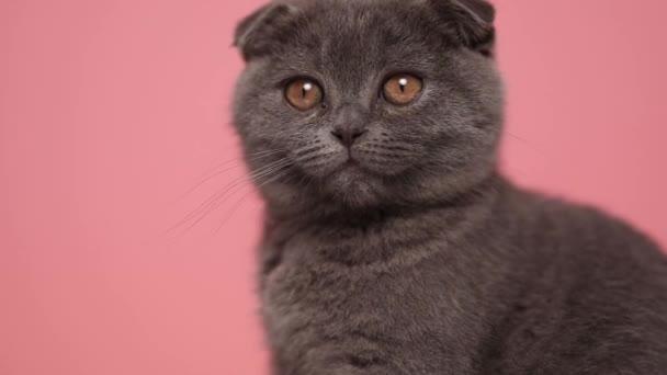 rozkošná malá skotská kočka sedí, dívá se dopředu, potřásá hlavou a olizuje si nos na růžovém pozadí